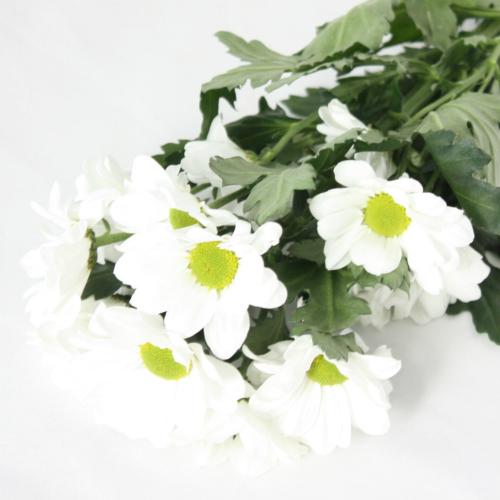 Дети осени, хризантемы по-осеннему холодны и прекрасны